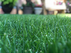 Tall Fescue Close-Up